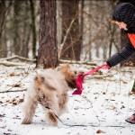 Labradoodle Donnan - reward for tracking