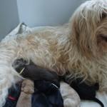Australian Labradoodle Fila and puppies