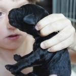 Australian Labradoodle stimulation