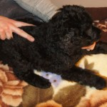 Labradoodle puppy massage
