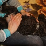Massaging Australian Labradoodle pups