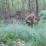Labradoodle Donnan tracking