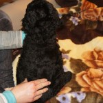 Labradoodle puppies and massage