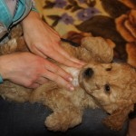 Labradoodle puppies massaged