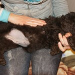 Labradoodles being massaged